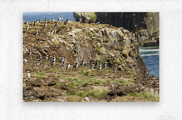 Puffins being puffins 5  Metal print