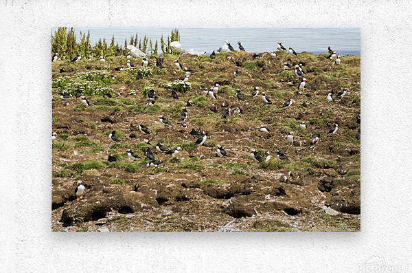 Puffins being puffins  Metal print