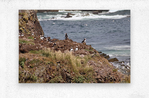 Puffins being puffins 15  Metal print