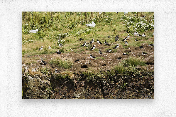 Puffins being puffins 4  Metal print
