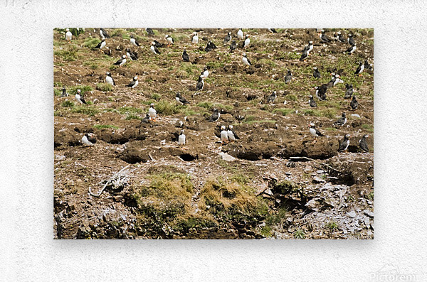 Puffins being puffins 7  Metal print