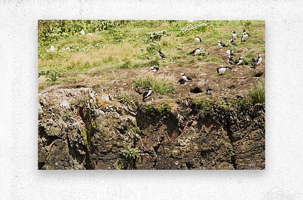 Puffins being puffins 12  Metal print