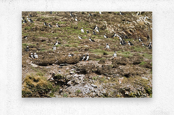Puffins being puffins 6  Metal print