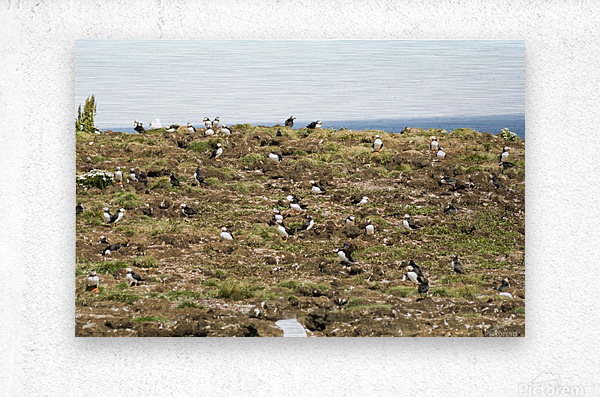 Puffins being puffins 13  Metal print