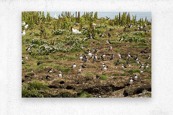 Puffins being puffins 2  Metal print