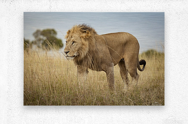 Proud King - 3  Metal print