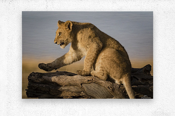 Small Step for Lionkind  Metal print