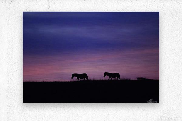 Zebra Sunrise  Metal print