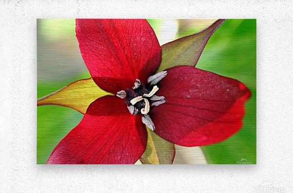 Dark Red Trillium  Metal print