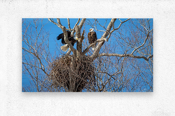 Bald Eagles cleaning up old nest.  Metal print