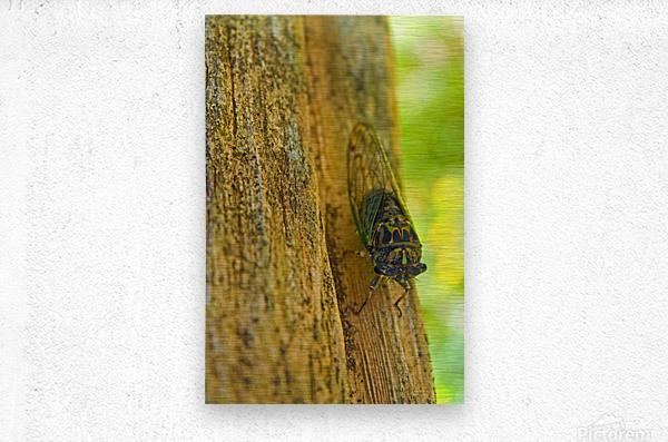 Cicada  Metal print