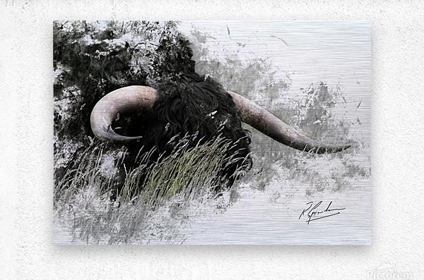 Bull in long grass  Metal print