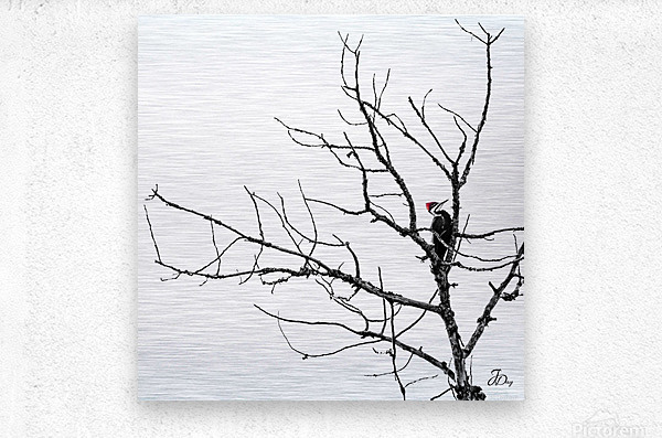 Pileated Woodpecker - Square  Metal print