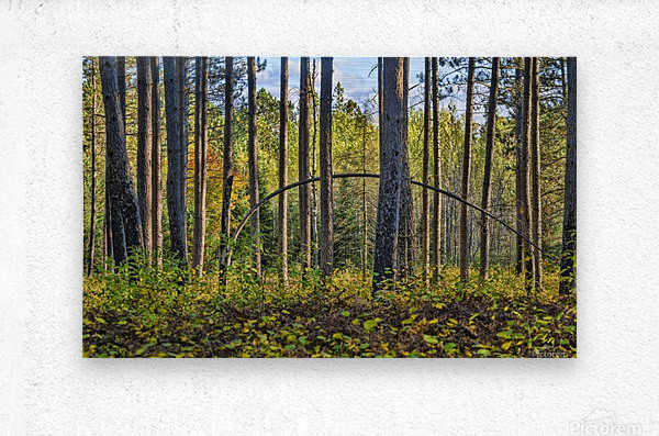 Stand of Trees  Metal print