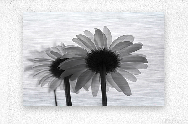 Daisies Rowing To The Left BW  Metal print