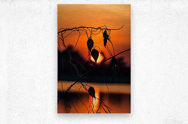 Vine Milkweed at Sunset  Metal print