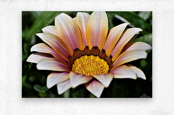 Gazania Flower Photograph in Orange and Pink  Metal print