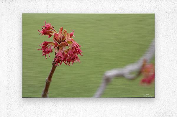 Blooming 2  Metal print