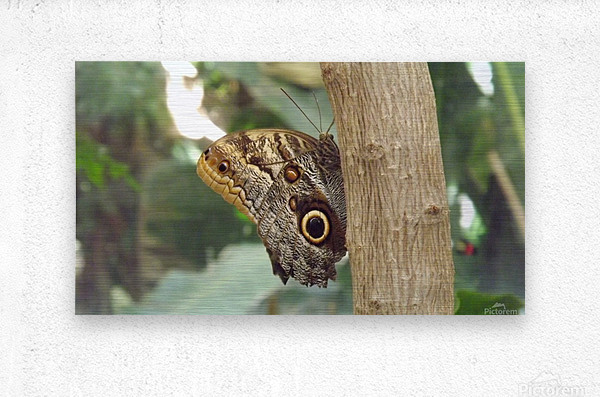 Giant Owl Butterfly on Tree  Metal print