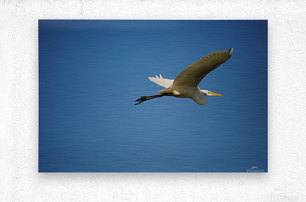 Egret Flying  Metal print