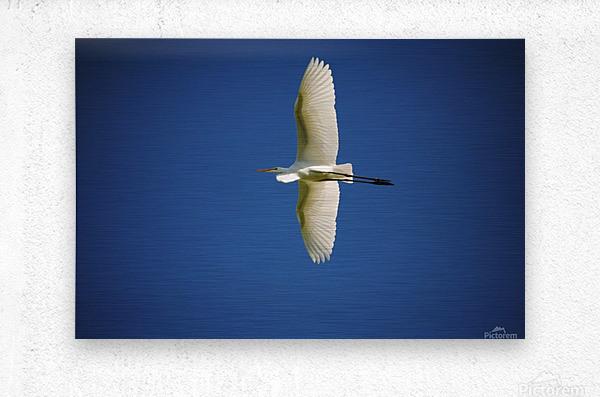 Egret Sailing Above  Metal print