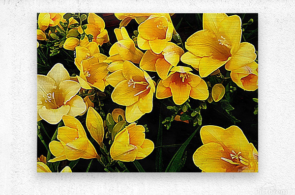 Yellow Freesias  Metal print