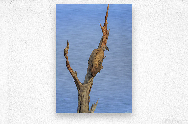 White-backed vulture in a tree  Metal print