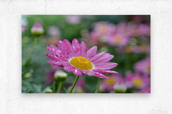 Pink Flower Photograph  Metal print