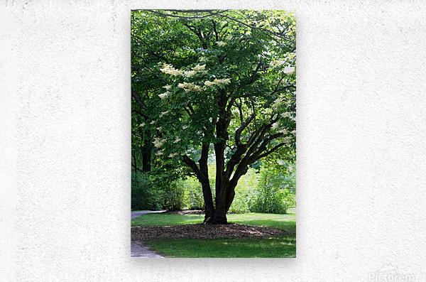 Japanese Lavender Tree Dow Gardens 2018  Metal print