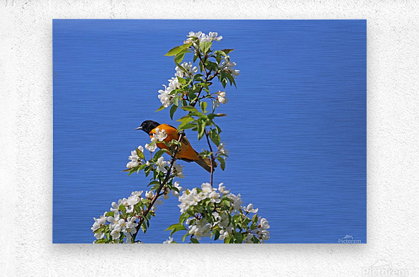 Oriole And White Blossoms  Metal print