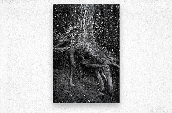 Roots...  Metal print