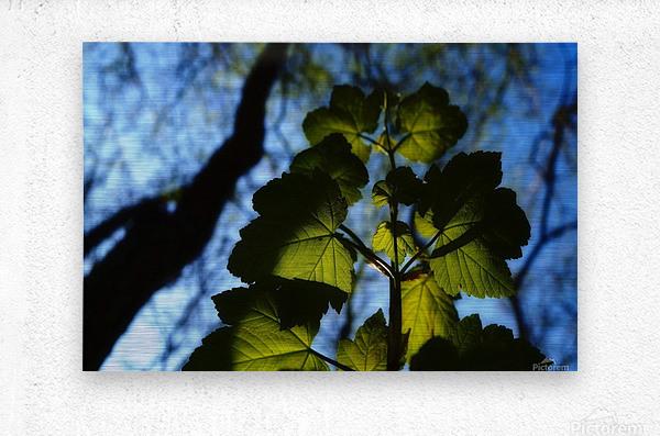 Leaves in the Summer  Metal print