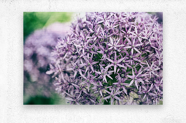 Allium in Bloom  Metal print