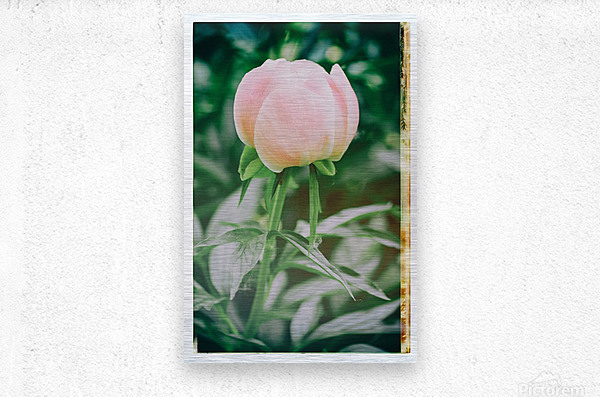 About To Bloom  Metal print