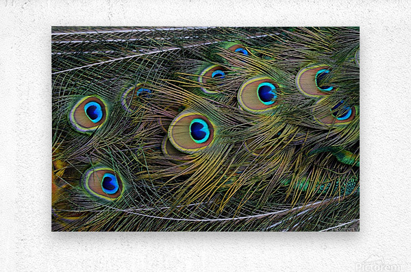 peacock tail feathers close up  Metal print