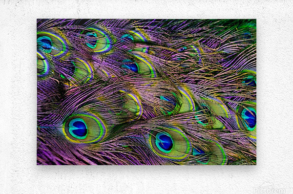 green purple and blue peacock feather digital wallpaper  Metal print
