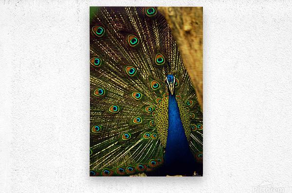 blue and green peafowl  Metal print