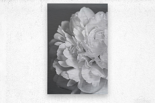 Peony in Black & White  Metal print