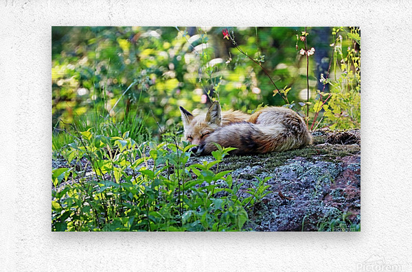 Nap Time For Red Fox I  Metal print