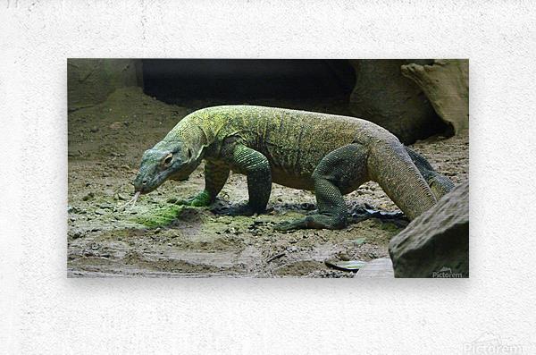 komodo dragon komodo lizard reptile  Metal print