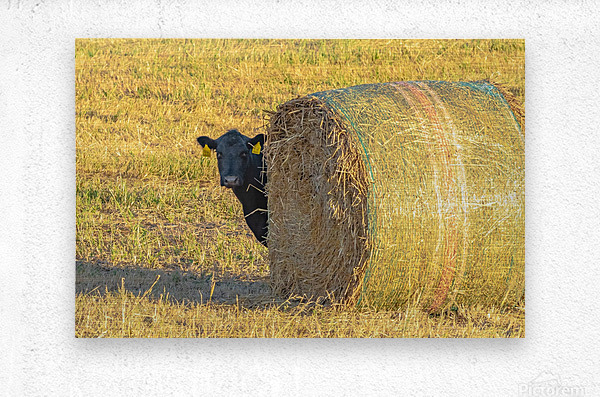 Hay.You Looking For Me  Metal print