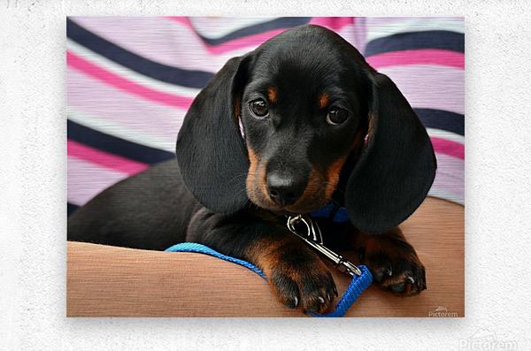 dachshund puppy young animal  Metal print