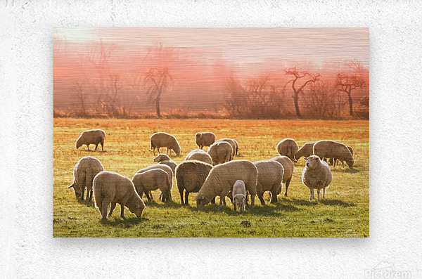 animal sheep flock of sheep meadow  Metal print