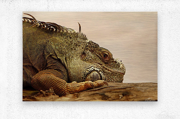 animal reptile lizard iguana  Metal print