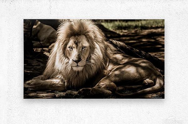 mammal lion animal portrait  Metal print