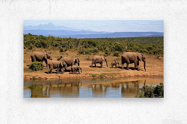 elephant herd of elephants  Metal print
