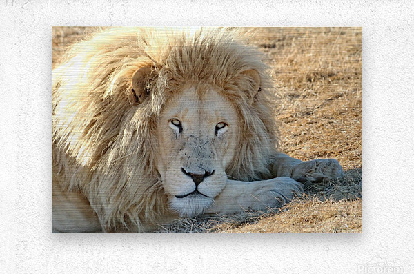 White Lion Portrait 913  Metal print