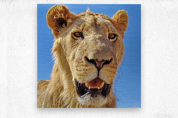 Lion close up square  Metal print