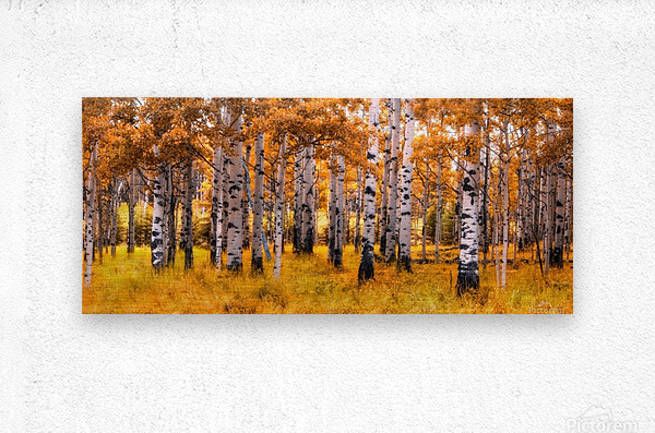 Birch Trees Autumn   Metal print