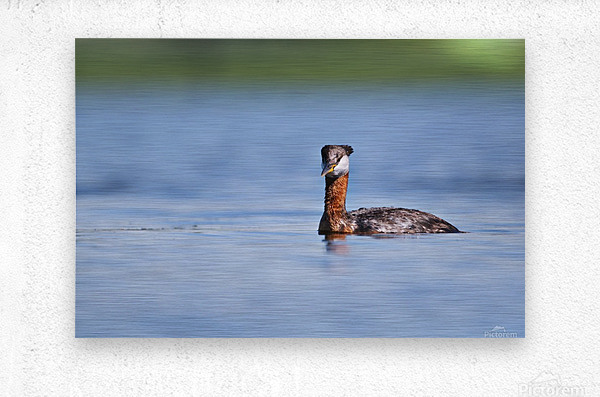 RED NECKED GREBE  Metal print